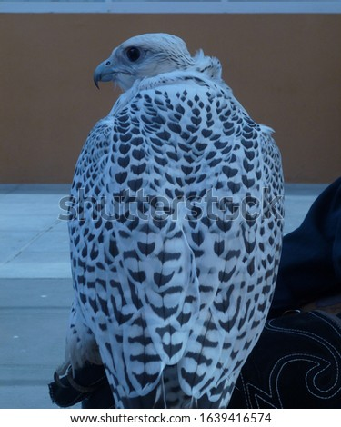 BEATIFUL BROWN AND WHIT FALCON IN CLOSE PICTURE