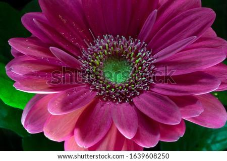 pink gerbera macro photography macro photography #1639608250