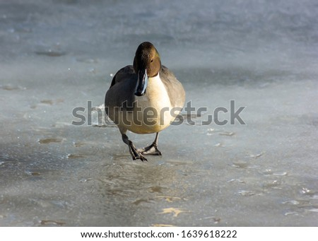 Beautiful male northern pintail duck walking on freshly frozen Lake, in Delta, BC, Canada. Beautiful bird with stunning feathers, long tail feathers.  Backlit, subject is dark on cold ice. Winter pic
