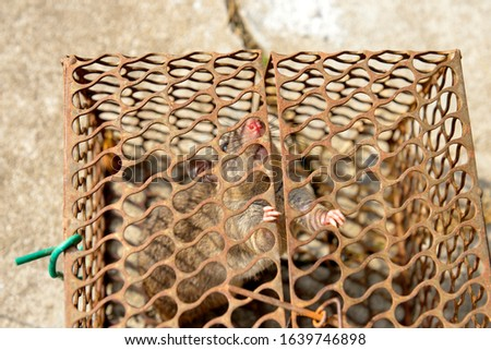Close up of anxious rat trapped and caught in metal cage, selective focus.  #1639746898