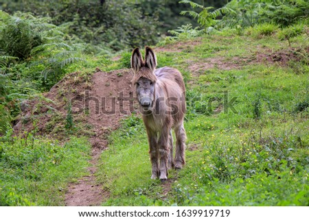 The picture shows a grey donkey without any other animal or human. He is standing and looking toward the camera. It takes place in a very green surrounding with a lot of plants.