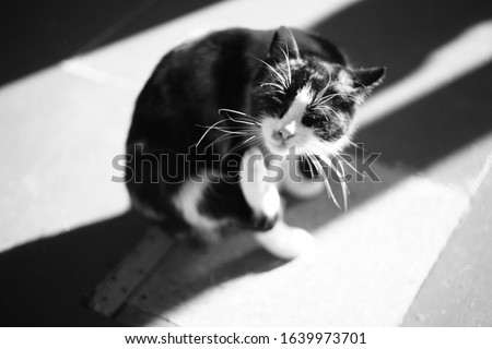 Cat paw scratches behind the ear, indoor closeup portrait. Fleas and ticks in domestic animals. Black and white photography