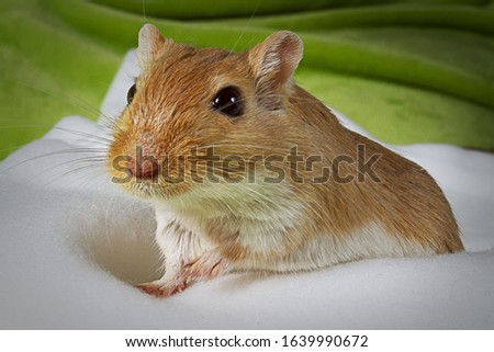 Bright Gerbil On White Background