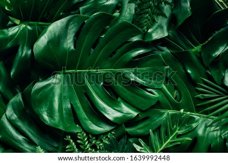 Monstera green leaves or Monstera Deliciosa in dark tones, background or green leafy tropical pine forest patterns for creative design elements. Philodendron monstera textures Royalty-Free Stock Photo #1639992448