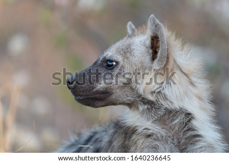 Hyena puppy in the wilderness of Africa
