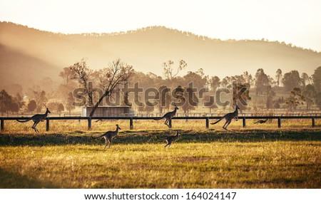 Group of australian kangaroos at Hunter Valley, Australia Royalty-Free Stock Photo #164024147
