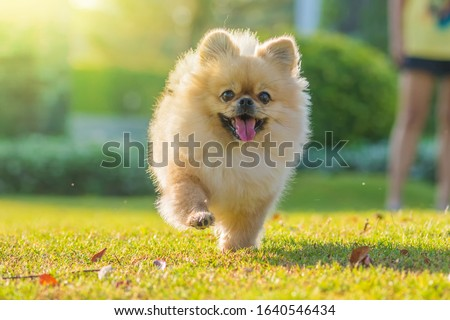 Cute puppies Pomeranian Mixed breed Pekingese dog run on the grass with happiness. #1640546434