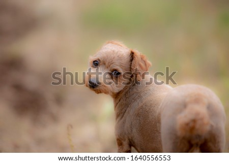 Poodle is a very cute puppy picture
