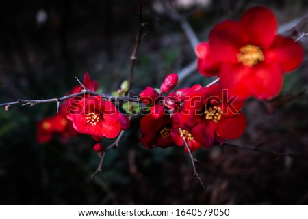 Japanese quince plant red nature #1640579050