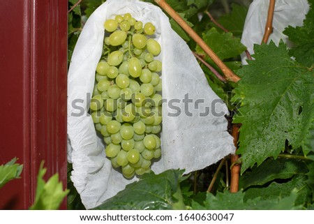 Fruit protection bag opened to reveal clean ripe grapes with no pest or disease damage. Organic fruit protection, chemical free. Royalty-Free Stock Photo #1640630047