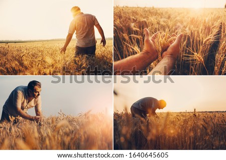 Four pictures in one set of mid-aged man stan in middle of wheat field and touch spikelets with hands. Collage of sunset pictures. Collection of harvest photos at the end of summer