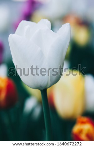 Beautiful white flower tulip close-up. Abstract background. Flower background, garden flowers. #1640672272