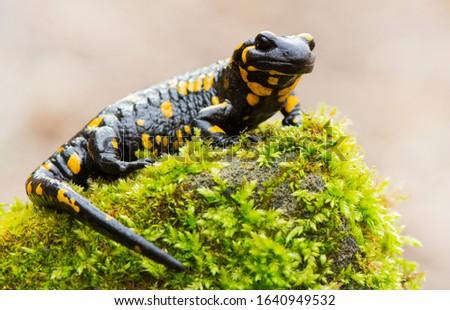 A fire salamander (Salamandra salamandra) in a forest