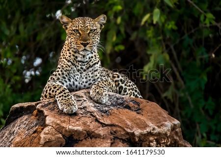 African leopard observing a surroundings in Samburu National Reserve, Kenya. Amazing leopard in the nature habitat. Wildlife scene. Panthera pardus pardus. #1641179530