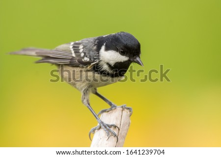 Coal tit (Periparus ater) or cole tit, black-crested tit, very small bird in family Paridae. Tiny bird with white nape spot on its black head, white striped tit #1641239704