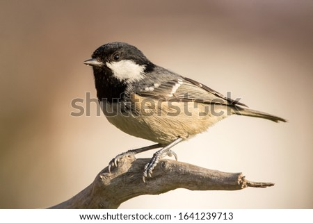 Coal tit (Periparus ater) or cole tit, black-crested tit, very small bird in family Paridae. Tiny bird with white nape spot on its black head, white striped tit #1641239713
