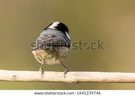 Coal tit (Periparus ater) or cole tit, black-crested tit, very small bird in family Paridae. Tiny bird with white nape spot on its black head, white striped tit #1641239746