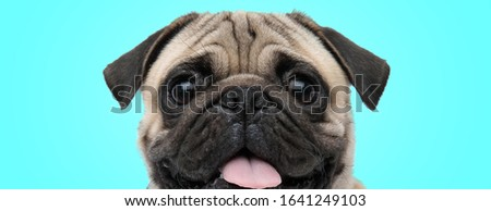 excited little panting pug with mouth open and tongue exposed looking amazed on blue background, closeup picture