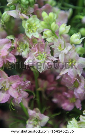 stalks of rocket larkspur with pale baby pink and butter cream flowers 7395 #1641452536