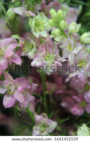 stalks of rocket larkspur with pale baby pink and butter cream flowers 7394 #1641452539