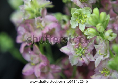stalks of rocket larkspur with pale baby pink and butter cream flowers 7390 #1641452545
