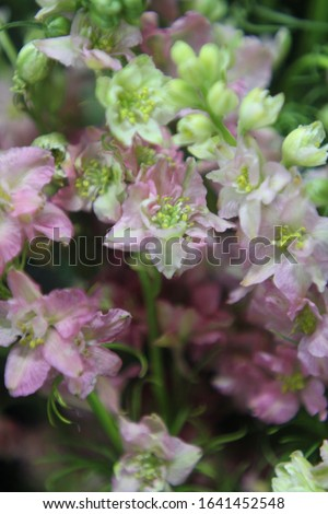 stalks of rocket larkspur with pale baby pink and butter cream flowers 7393 #1641452548