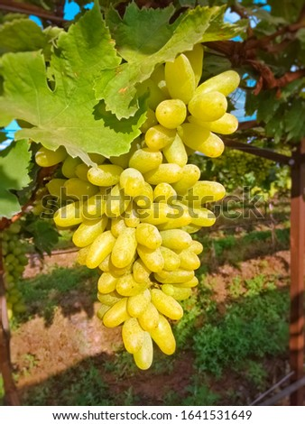 Close up photo of riped grapes in the farm ready for market sale #1641531649