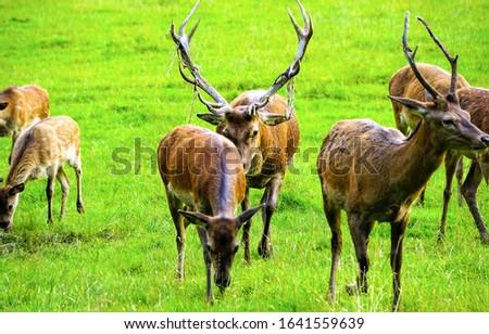Deers grazing on pasture field. Deer #1641559639
