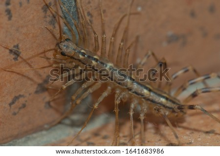 House centipede (Scutigera coleoptrata). Cruz de Pajonales. Tejeda. Gran Canaria. Canary Islands. Spain. Royalty-Free Stock Photo #1641683986