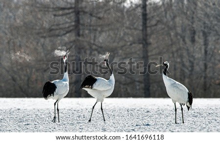 Dancing Cranes. The ritual marriage dance of cranes. The red-crowned crane. Scientific name: Grus japonensis, also called the Japanese crane or Manchurian crane, is a large East Asian Crane.  #1641696118