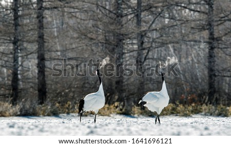 Dancing Cranes. The ritual marriage dance of cranes. The red-crowned crane. Scientific name: Grus japonensis, also called the Japanese crane or Manchurian crane, is a large East Asian Crane.  #1641696121