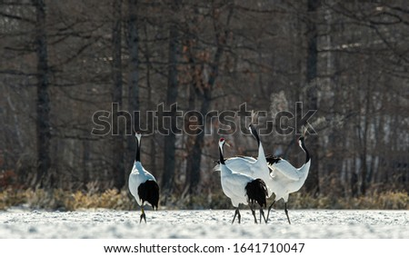 Dancing Cranes. The ritual marriage dance of cranes. The red-crowned crane. Scientific name: Grus japonensis, also called the Japanese crane or Manchurian crane, is a large East Asian Crane.  #1641710047