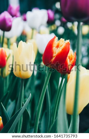 Beautiful white flower tulip close-up. Abstract background. Flower background, garden flowers. #1641735793