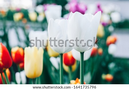 Beautiful white flower tulip close-up. Abstract background. Flower background, garden flowers. #1641735796