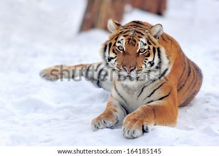 Beautiful wild siberian tiger on snow  #164185145