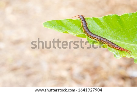 A centipede on a green leaf Royalty-Free Stock Photo #1641927904