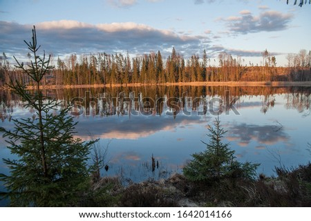 Forest lake in spring time. Two green fir trees on the foreground, sunny coniferous forest on another shore and calm lake surface with reflection of blue sky with clouds. Karelian isthmus. Russia. #1642014166