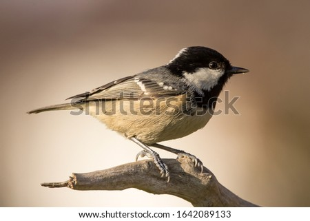 Coal tit (Periparus ater) or cole tit, black-crested tit, very small bird in family Paridae. Tiny bird with white nape spot on its black head, white striped tit #1642089133