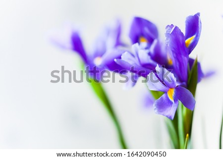 Japanese iris, flowers over light gray blurred background, macro photo with selective focus. Iris Laevigata