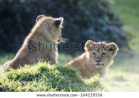 Lion Family Young Lions Lion King Cubs Kitty Big Cats #164218556