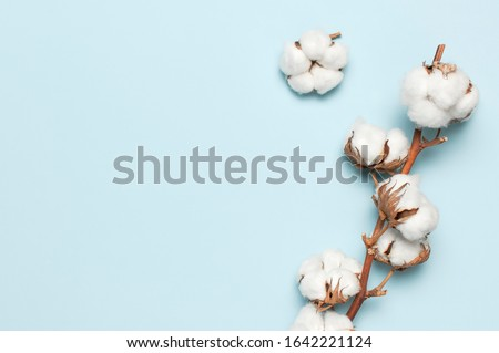 Flat lay Beautiful cotton branch on blue background top view copy space. Delicate white cotton flowers. Light color cotton background. Cotton production #1642221124