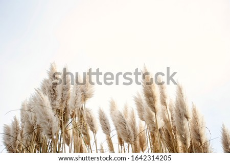 Pampas grass in the sky, Abstract natural background of soft plants Cortaderia selloana moving in the wind. Bright and clear scene of plants similar to feather dusters. beauty #1642314205