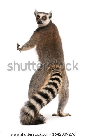 Ring-tailed lemur, Lemur catta, 7 years old, standing in front of white background #1642339276