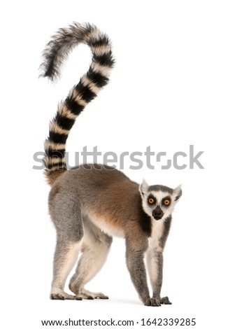 Ring-tailed lemur, Lemur catta, 7 years old, in front of white background #1642339285