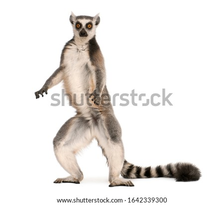 Ring-tailed lemur, Lemur catta, 7 years old, standing in front of white background #1642339300