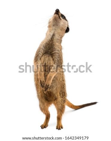 Meerkat standing upright, looking up, Suricata suricatta, isolated on white