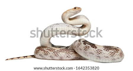 Pacific gopher snake also known as Coast gopher snake, western gopher snake, Pituophis catenifer, a colubrid species in front of white background