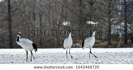 Dancing Cranes. The ritual marriage dance of cranes. The red-crowned crane. Scientific name: Grus japonensis, also called the Japanese crane or Manchurian crane, is a large East Asian Crane.  #1642468720