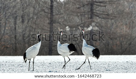 Dancing Cranes. The ritual marriage dance of cranes. The red-crowned crane. Scientific name: Grus japonensis, also called the Japanese crane or Manchurian crane, is a large East Asian Crane.  #1642468723