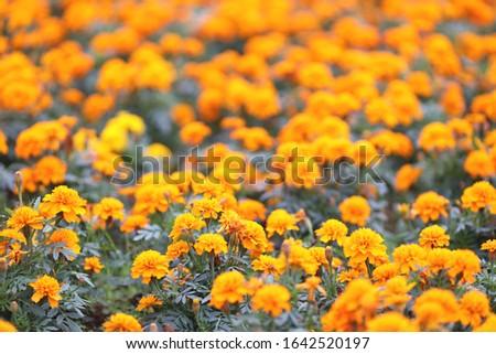 Marigolds Tagetes erecta, Mexican marigold, Aztec marigold, African marigold #1642520197